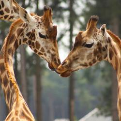 Giraffenliefde