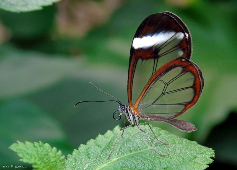 Greta Oto - Glasvleugelvlinder - De Greta oto is een vlinder uit de familie Nymphalidae. De Greta Oto komt voor van Mexico tot in Panama. De vlinders