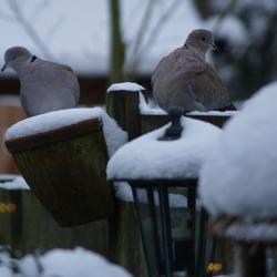 Flirtende duiven
