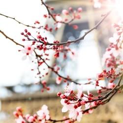 Paris spring blossom
