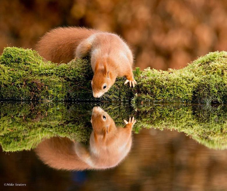 """Dorstige eekhoorn - Deze foto is gekozen door vroege vogels voor hun kalender 2015, waar ik dus best trots op ben <img  src=""""/images/smileys/wilt.png"""""""