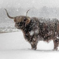 Door de sneeuw buffelen.