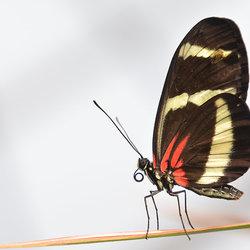 Heliconius Erato (Passiebloemvlinder)