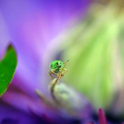 De groene snuitkever
