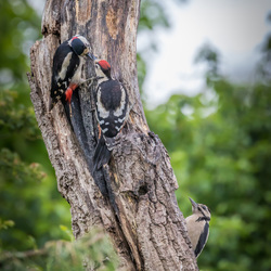 Woody Woodpeckers