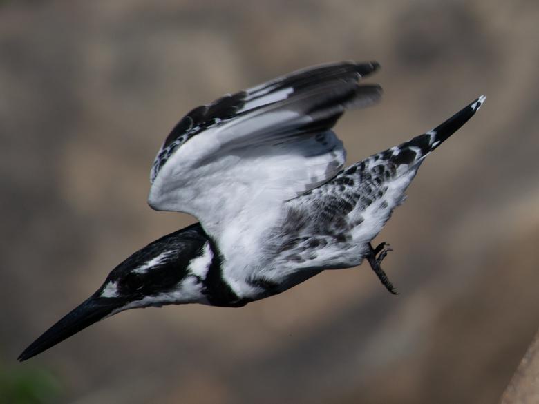Pied Kingfisher - Bontvisvanger (Afrikaans)