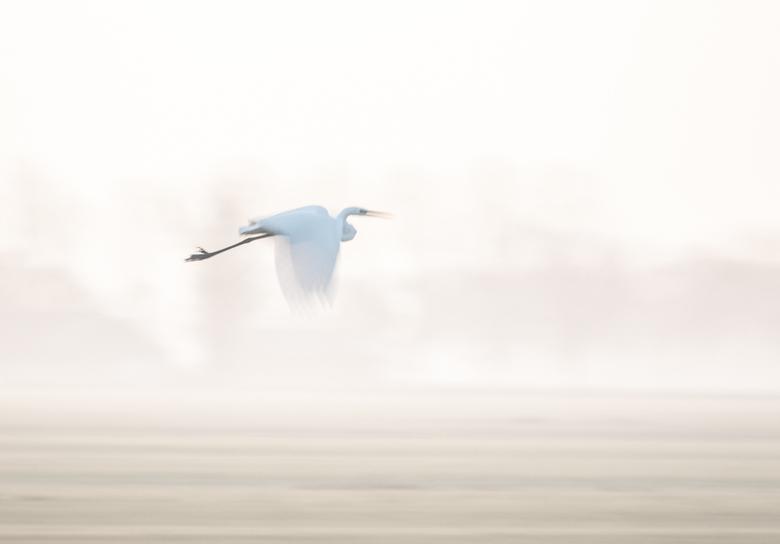 Zilverreiger in volle vlucht - Ze blijven nooit zitten als je eraan komt, dan maar in volle vlucht in het prachtige ochtendlicht
