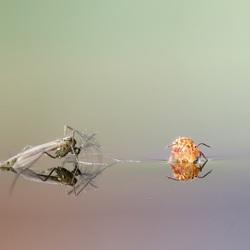 Dansmug en springstaartje op water in volgeregende emmer.