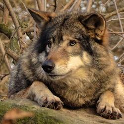Wolf in Blijdorp