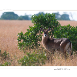 Waterbuck, Kenia