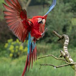 Landende papegaai