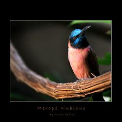Merops Nubicus