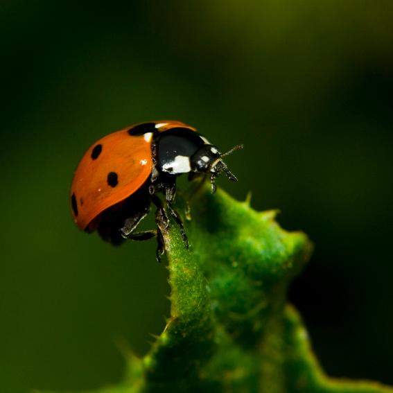 Kom op! Je kunt het! - Lieveheersbeestje over het topje van een blad.