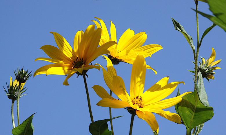 Zonnebloemen - Gele bloemen, hoog op stelen, op een prachtige herfstdag.