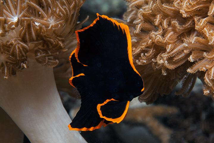Juvenile Batfih - Jonge Vleermuisvis ( 5cm)<br /> Volwassen exemplaren zijn grauw van kleur en kunnen 30 cm worden