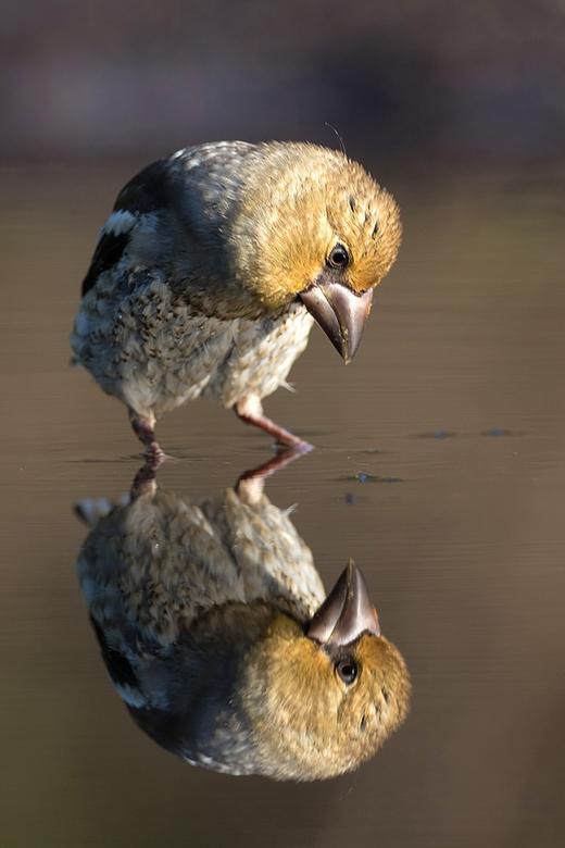 Ben ik dat?? - Vorige week deze jonge Appelvink kunnen fotograferen, die verbaasd naar zn spiegelbeeld stond te staren.<br /> <br /> Iedereen een fi