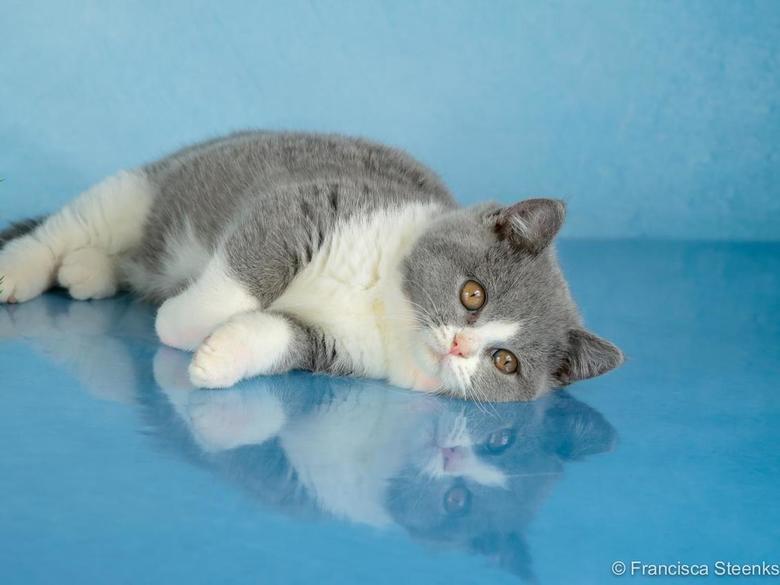 Brit Korthaar bicolor - Brits Korthaar kitten