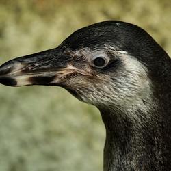 pinguinportret