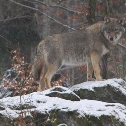 Wolf op uitkijk