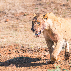 Leeuwin vlak na haar kill