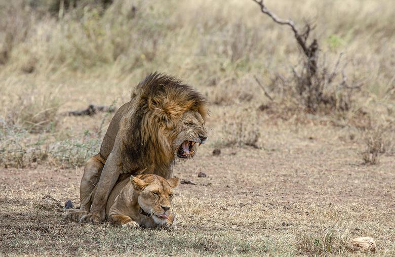 Parende leeuwen in Tanzania -