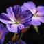 De ooievaarsbek bloeit weer mooi dit jaar.