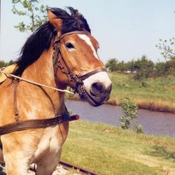Paarden Portret.