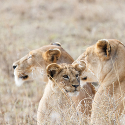 Leeuwen in Serengeti