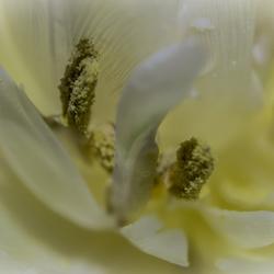 Tulp (2)