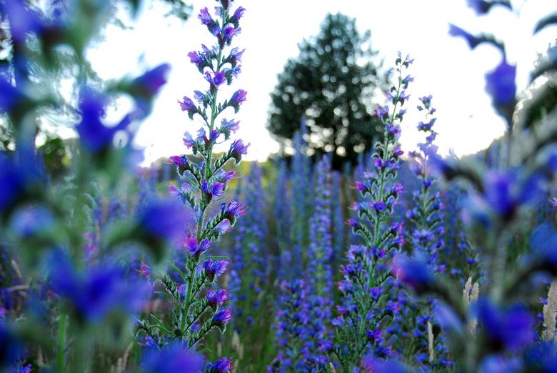 Avond gloed - Deze paars-blauwen bloemen (wilde delfinium?) lichten mooi op met de avond gloed die ze net belichten