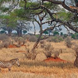 Luipaard en zebra