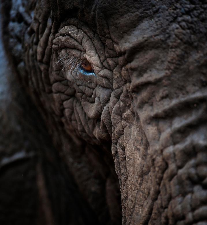 The Eye of the Elephant - Langzaam kwam de Olifant op mij af, en met de 600mm kon ik eindelijk deze lang verwachte opname fotograferen.