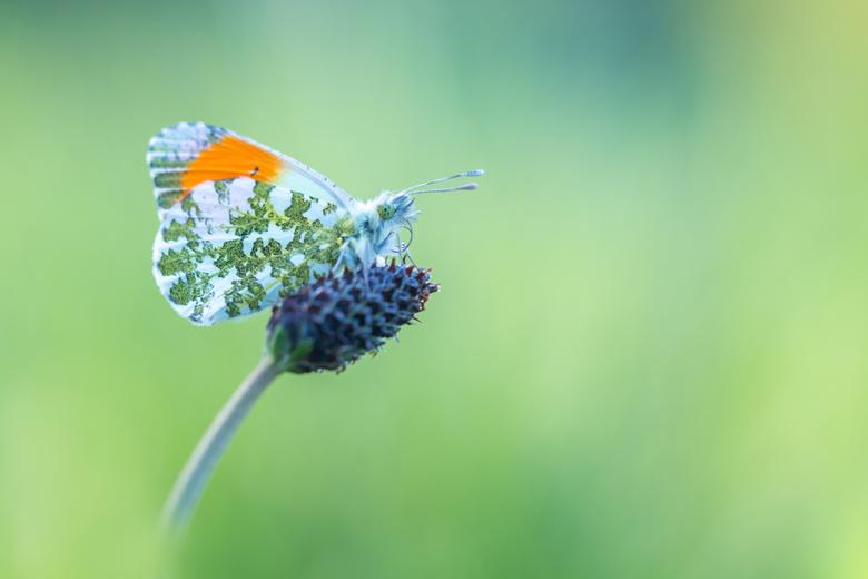 Oranjetipje - Vroeg op pad vanmorgen voor de oranjetipjes, en hoe leuk is het dan als hij even een stukje van zijn mooie oranje vleugel laat zien.