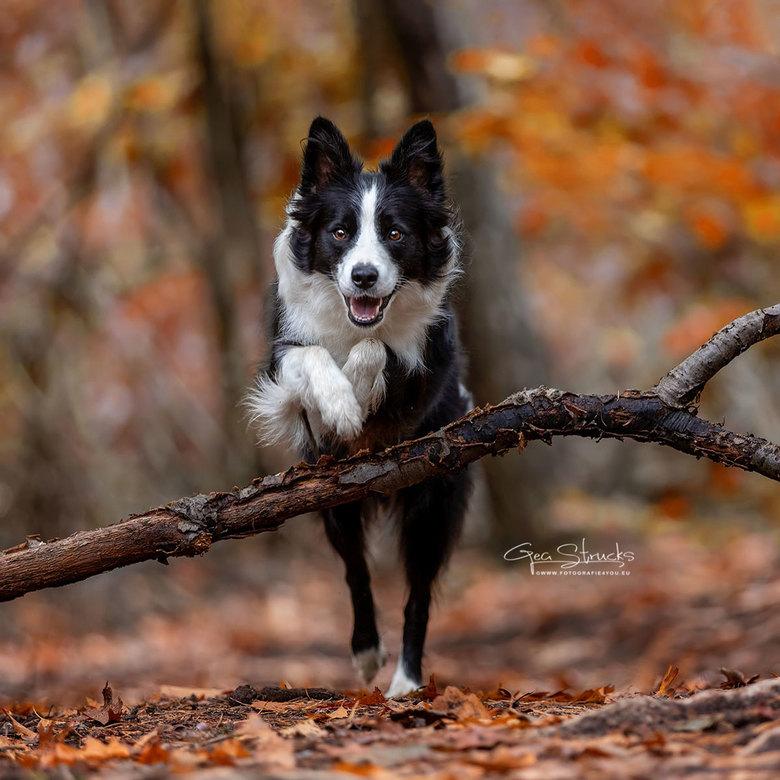 Autumn in the woods - Knappe border collie Jazz voor de lens voor actie fotografie.<br /> Mooie herfstkleuren maken het geheel wel af.