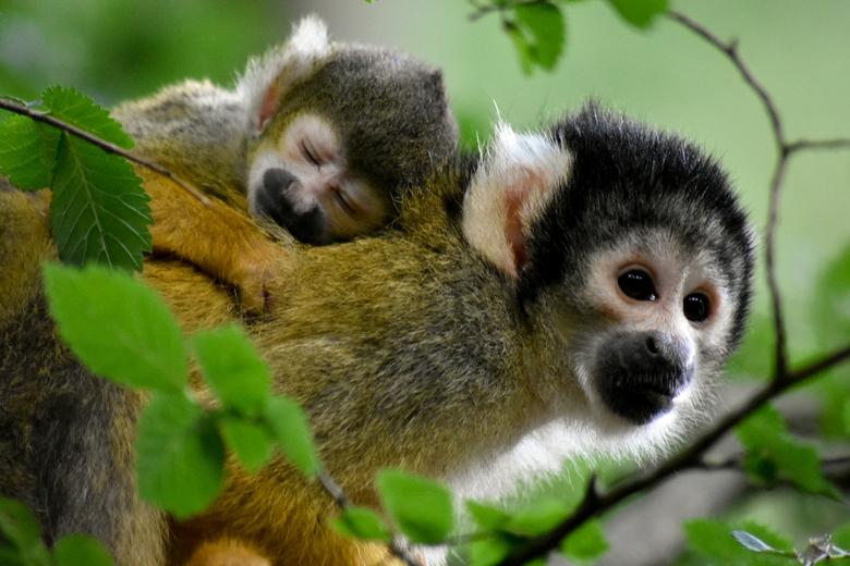 Aapjes - Geschoten in de apenheul, goed verstopt tussen het groen.