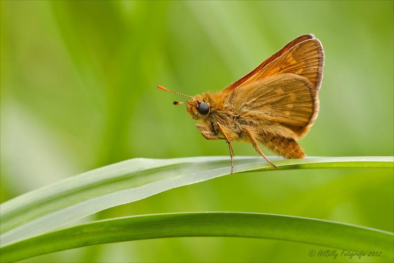 Dikkopje - Deze opname heb ik in Warnsveld gemaakt , hier zijn amper vlinders te zien .<br /> Ik loop achter met reageren , maar dat komt wel goed ..