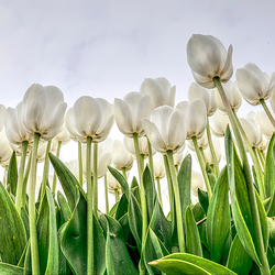 Tulpen uit de Noord Oost Polder