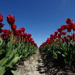 rij tulpen