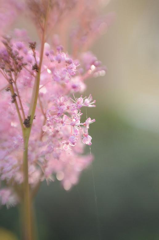 roze wolk - hallo Zoomers, ik ben heeeel lang niet op Zoom geweest, maar nu weer terug. Ik heb de laatste tijd veel geëxperimenteerd met de lensbaby,