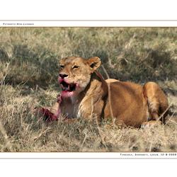 Lion Serengeti NP