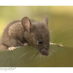 Little mouse in Town *