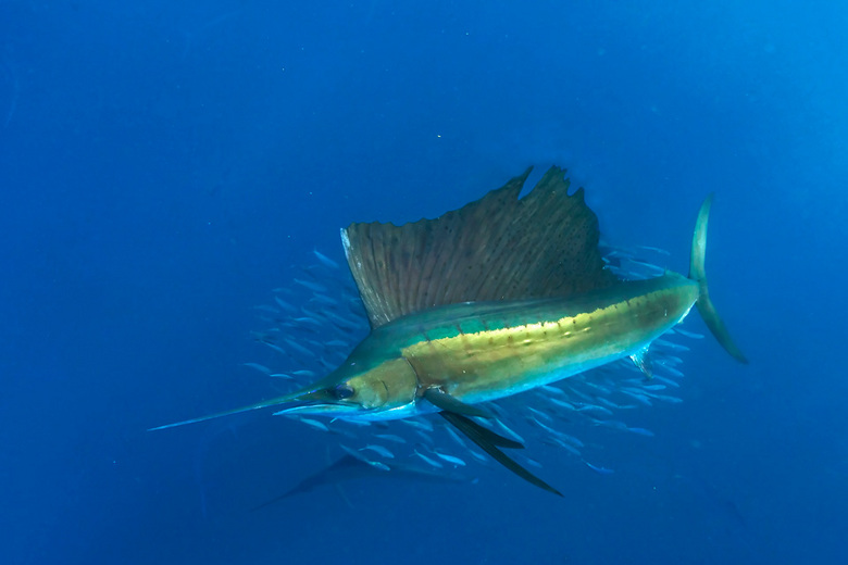 sailfish - De Zeilvis jaagt op sardines,<br /> Dit is de snelste vis ter wereld, (bijna 100km per uur) en is alleen dus te fotograferen indien hij aa