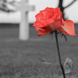 Rode roos in doodse stilte...