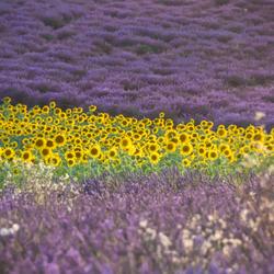 Lavender en zonnebloem
