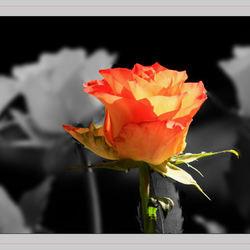 Ik geef je een roos......
