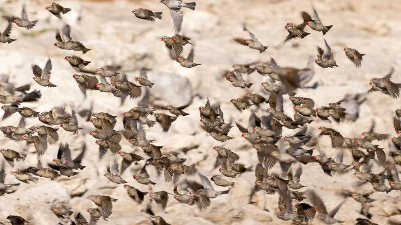 Vogel mania - Een zwerm wevers nabij een waterplas in Namibië. Telkens gingen ze als zwerm water drinken om vervolgens weer snel veilig in een boom te