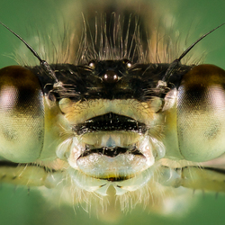 Libelle (focus stacking 2)