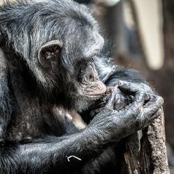 chimpansee in brurgers zoo