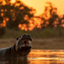 Hippo at sunset