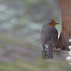 Wintervogels roodborstje